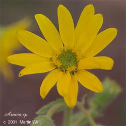 Arnica  cut and sifted  Flower & Leaf  2 oz.