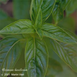 Basil, sweet  powder  organic  leaf  2 oz.