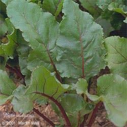 Beet Root  powder  organic  root  16oz.