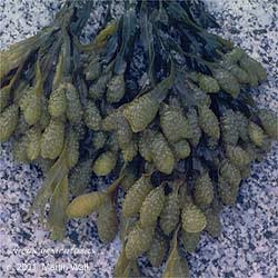 Bladderwrack  cut and sifted  wildcrafted  2 oz.