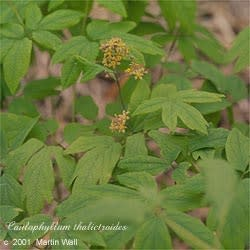 Blue Cohosh Root  powder  wildcrafted  root  2oz.