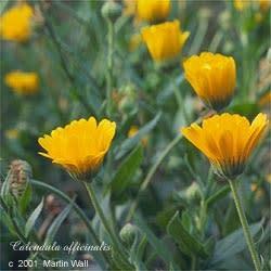 Calendula  Whole Flowers  2 oz.