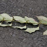 Cat's Claw powder inner bark 16oz.