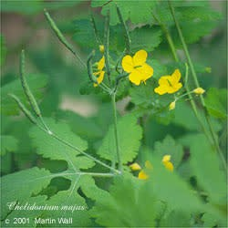 Celandine - cut and sifted - Herb -- 16oz.