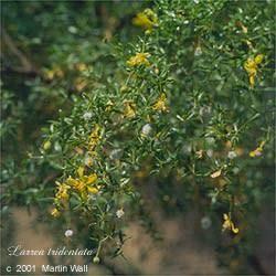 Chaparral leaf powder 2 oz.