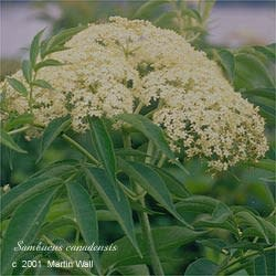 Elder Flowers  whole 2 oz