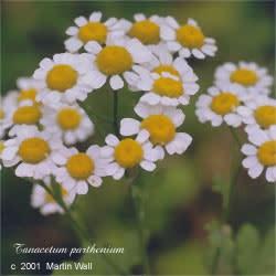Feverfew  flowers powder 16oz.