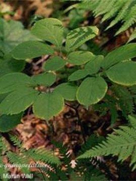 Ginseng, Eleuthero Root - powder - root -- 16oz.