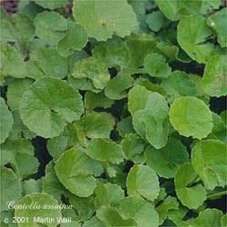 Gotu Kola herb cut and sifted  2 oz.