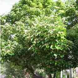 Hawthorn  berry  powder  2 oz.