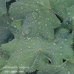 Lady's Mantle herb cut and sifted    16oz.