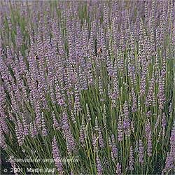 Lavender flowers whole    16oz.