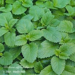 Lemon Balm  leaf  cut and sifted 16oz.