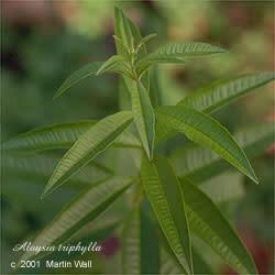 Lemon Verbena leaf  cut and sifted   16oz.