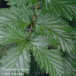 Meadowsweet herb powder    16oz.