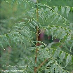 Neem  leaf  powder  2 oz.