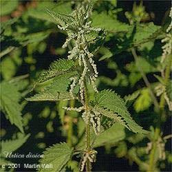 Nettles  leaf powder   2 oz.