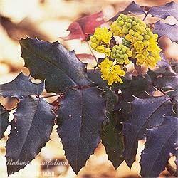 Oregon Grape Root  powder  16 oz