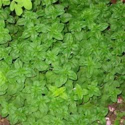 Peppermint leaf powder  2 oz.