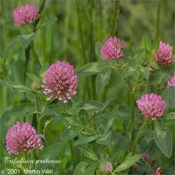 Red Clover  flower and herb  cut and sifted   2oz.