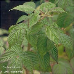 Red Raspberry leaf powder  2oz.