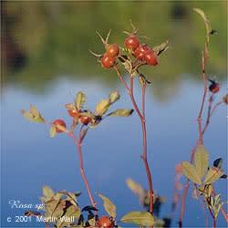 Rosehips   berry  powder  2oz.