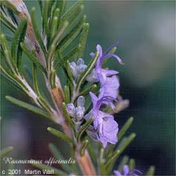 Rosemary leaf  powder  2oz.