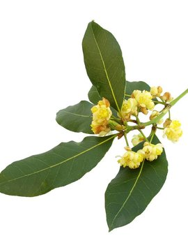 Bay Laurel Ess Oil 1/8oz.