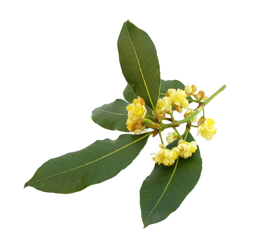 Bay Laurel Ess Oil - 1/2oz.