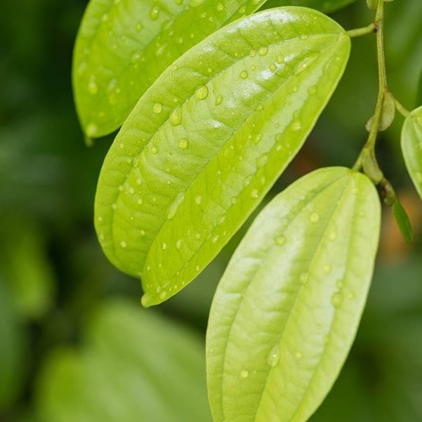 Cinnamon leaf Ess Oil 1/2oz.