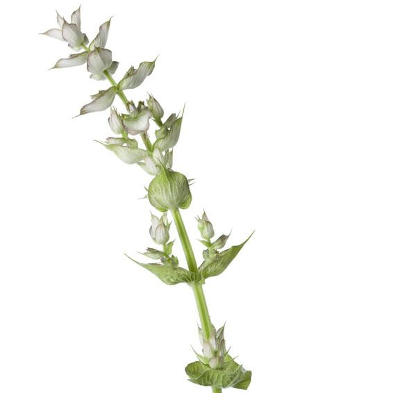 Clary Sage Ess Oil 1/4oz.