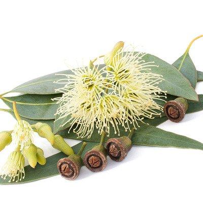 Eucalyptus Ess Oil 1/2oz.