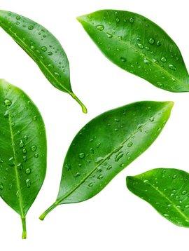Petitgrain Ess Oil 1/4 oz.