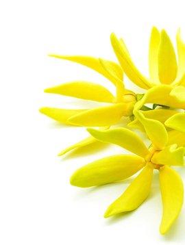 Ylang Ylang extra - Ess Oil - 1 oz.
