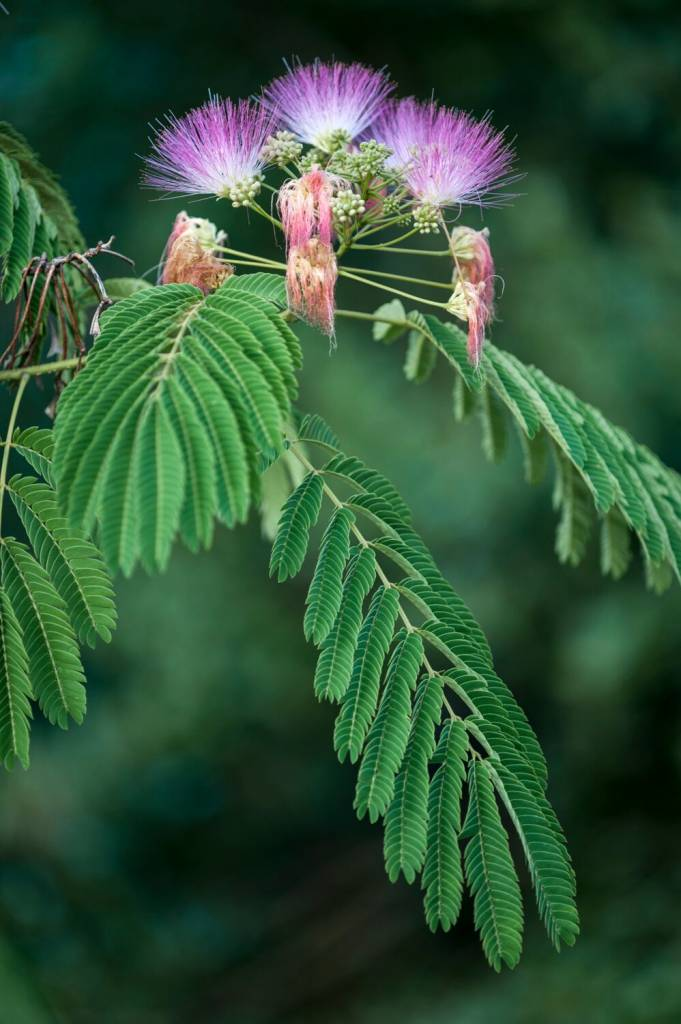 Albizia  powder  wildcrafted  herb 16oz.