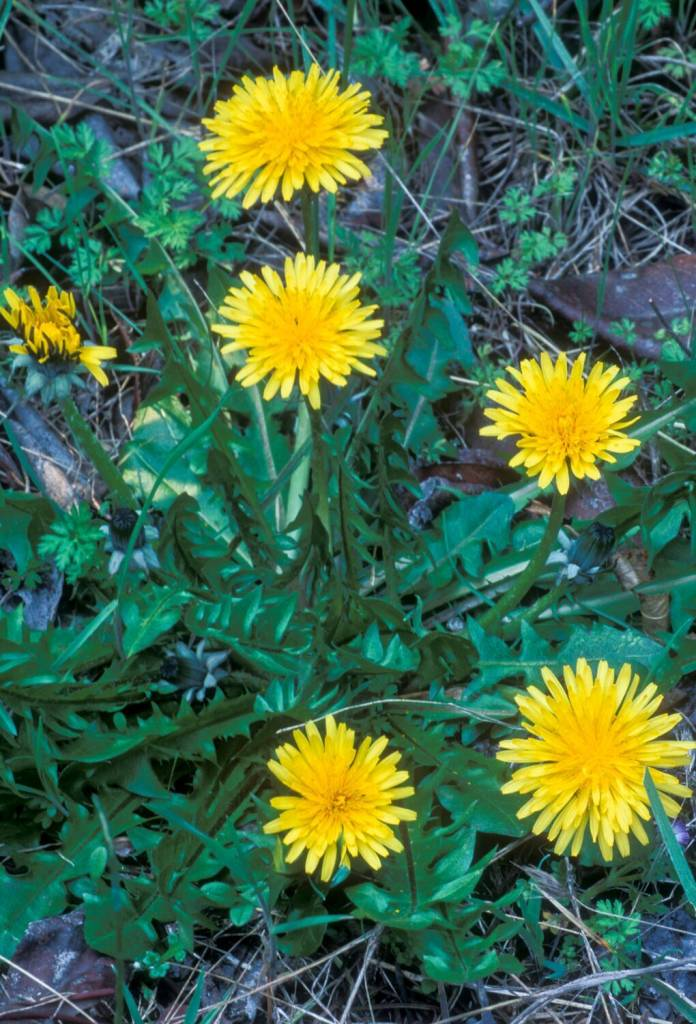 Dandelion root  powder 2oz.
