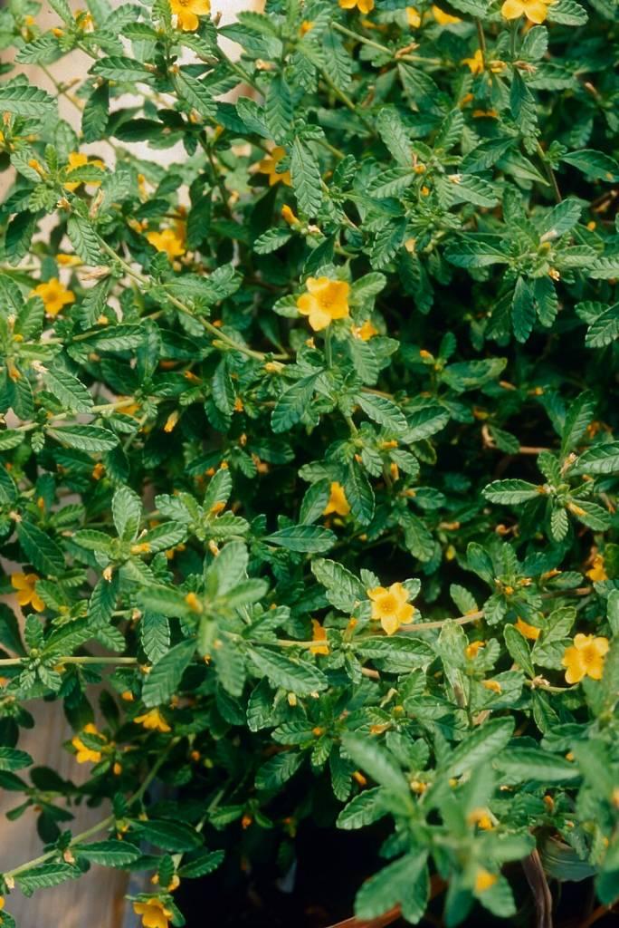 Damiana leaf  cut and sifted  2 oz.