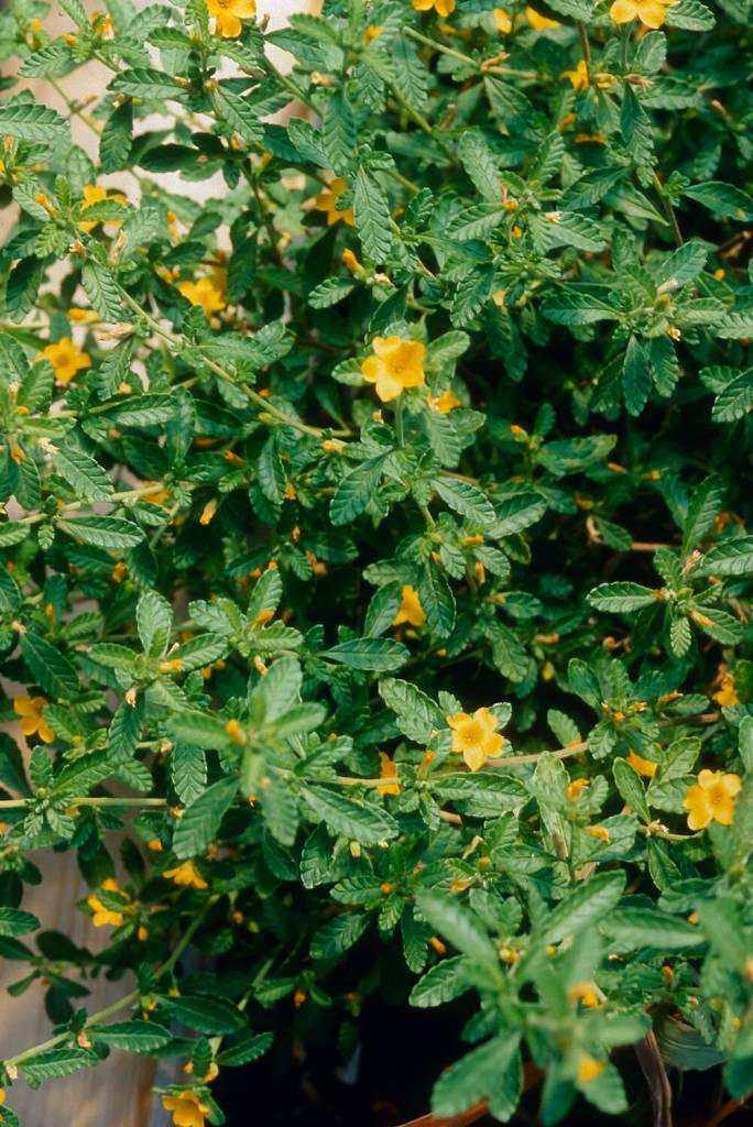 Damiana leaf  powder  16oz.