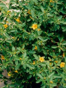Damiana leaf  powder 2 oz.