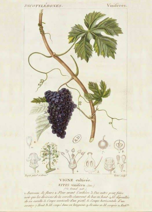 Greeting Card - Grapevine