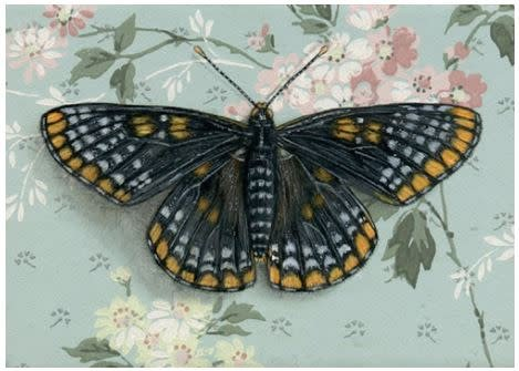 Print by Emily Uchytil - Baltimore Checkerspot Butterfly
