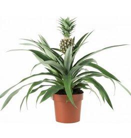 "ANANAS 6"" PLANT"