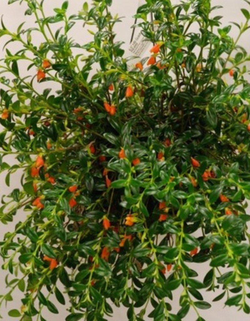 """HYPOCYRTHA 8"""" PLANT"""