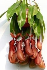 """NEPENTHES PLANT 8"""""""