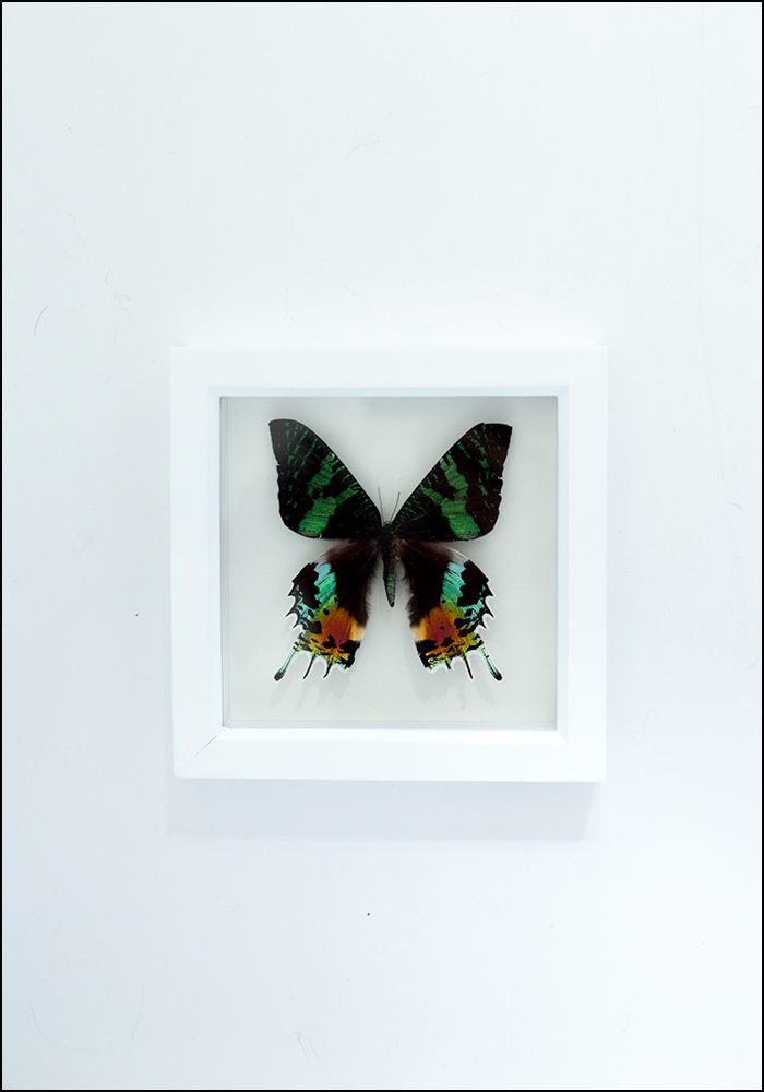 Framed Sunset Moth