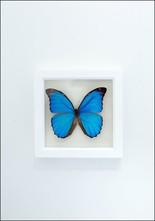 Bug Under Glass Blue Morpho Butterfly