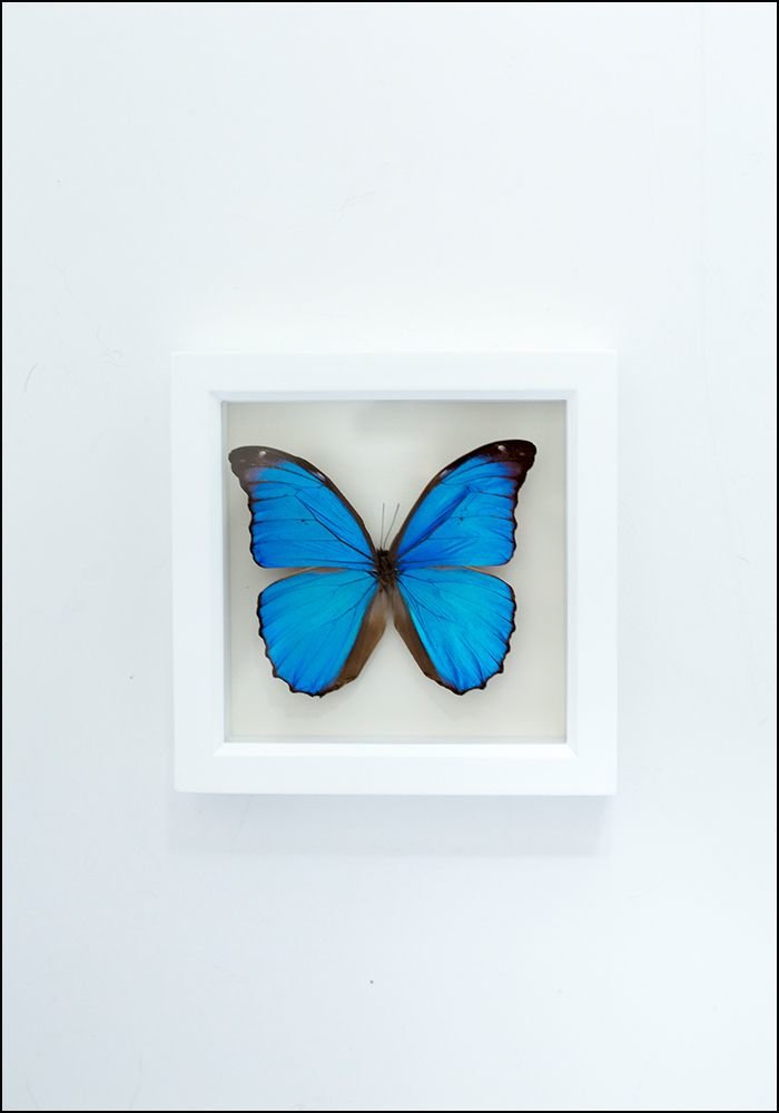 Bug Under Glass Blue Morpho Butterfly