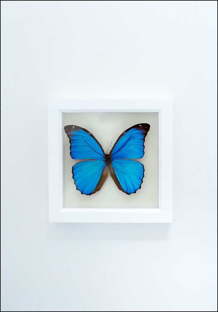 Blue Morpho Butterfly - December Thieves