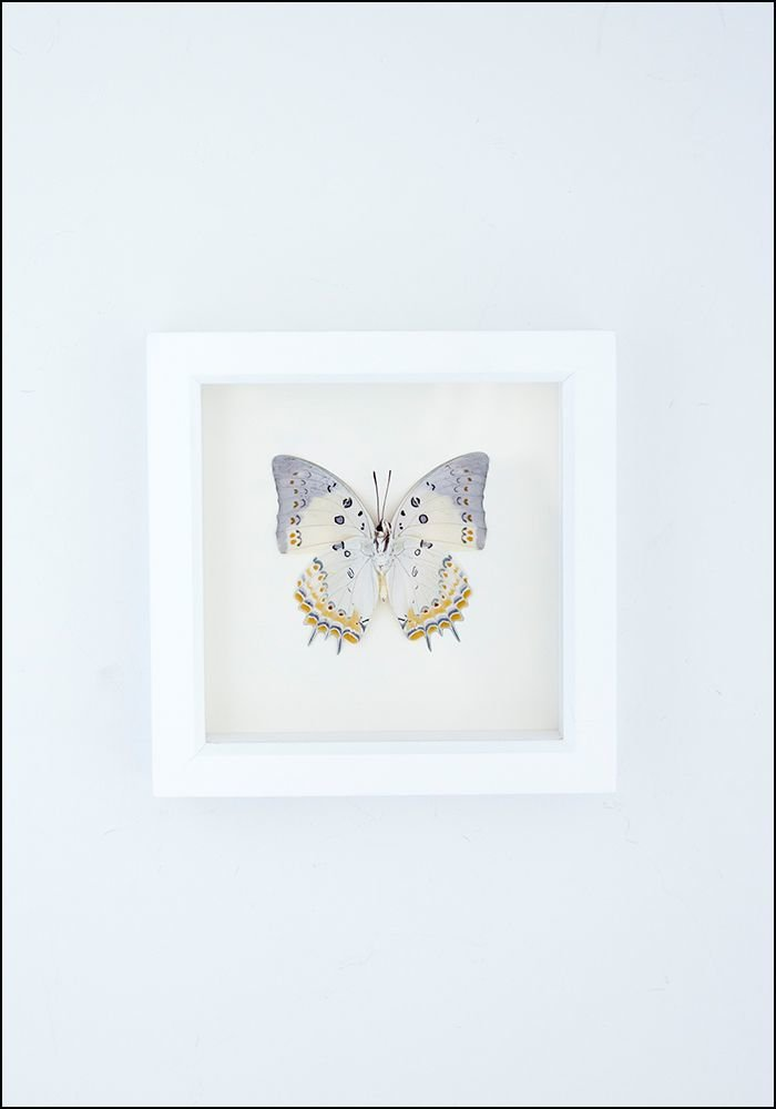 Framed Jeweled Nawab Butterfly