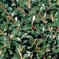 #3 Ilex cre Green Lustre/Japanese Holly (female)